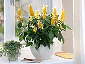 Pachystachys lutea (golden ear), Pilea (gunner flower) on the window
