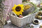 Flower head of Helianthus (sunflower) in basket