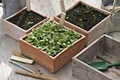 Sowing bowl with Hesperis matronalis