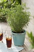 Cola herb (Artemisia abrotanum var. Maritima) in turquoise pot