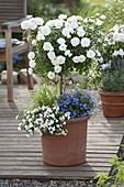 Rose 'Snow Meillandina' planted with Lobelia