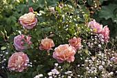Rosa 'Botticelli' (small shrub rose), very healthy, often flowering