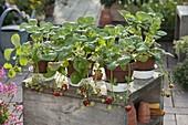 Strawberry 'Mara des Bois' (pine strawberry)
