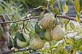 Pear 'Alexander Lukas' (European wild pear)