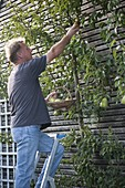 Man picks pear 'Williams Christbirne' from the trellis