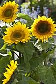 Helianthus 'Summer Breeze' (Sunflower)