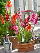 Put gladioli in terracotta tubs