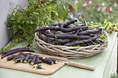 Pole bean 'Blauhilde' freshly harvested with savory