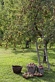 Apple harvest on the orchard meadow