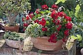 Pelargonium peltatum and Echeveria in terracotta bowl