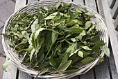 Leaves of laurel (Laurus nobilis) drying as a spice
