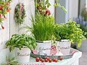 Basilikum (Ocimum basilicum), Schnittlauch (Allium schoenoprasum)