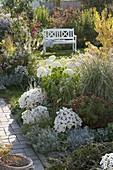 Autumnal garden with Aster dumosus 'Perla', Chrysanthemum
