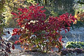 Euonymus alatus (Corkstring spindle shrub) in pebble bed