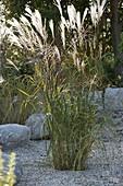 Miscanthus sinensis (Chinaschilf) im Kiesbeet