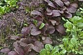 Red arugula, mustard cabbage Amchoi 'Red Giant', Komatsuna