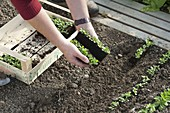 Planting lamb's lettuce seedlings in rows in the bed