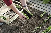 Feldsalat - Jungpflanzen in Reihen ins Beet setzen 1/4
