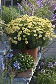Argyranthemum 'Sole Mio' (Marguerite)