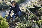 Cut back the perennial flowerbed in autumn