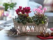 Cyclamen (cyclamen) with planter in a basket
