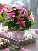 Euphorbia pulcherrima 'Princettia pink' with balls