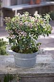 Viburnum tinus 'Eve Price' (laurel snowball) in zinc bowl