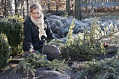 Woman cutting up Christmas tree and uses the branches for winter protection