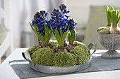Hyacinthus orientalis 'King Kodro' (hyacinth) on zinc tray
