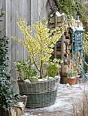 Basket planted with Hamamelis 'Arnold Promise', Helleborus