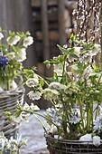 Helleborus orientalis 'Cindarella', Scilla