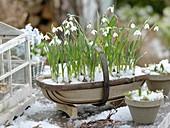 Spank basket with Galanthus nivalis (snowdrop)