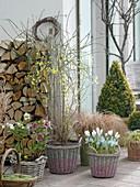 Early spring terrace with Jasminum nudiflorum, Helleborus