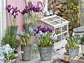 Iris histrioides 'George' and Crocus vernus 'Striped Beauty'
