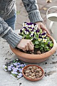 Plant bowl with horned violet and crocus