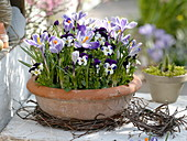 Plant the shell with horned violet and crocus