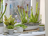 Window with carnivorous plants