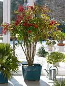 Kübelpflanzen im Wintergarten