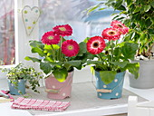 Gerbera in dotted metal buckets at the window
