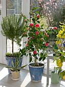 Rosemary Stem (Rosmarinus), Thyme (Thymus)