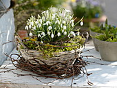 Basket with galanthus in moss, wreath of betula
