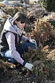 Woman removing Rosa winter protection, made of fir branches, in March