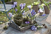 Crocus vernus 'Striped Beauty' with moss in glasses on wooden tray