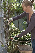 Woman cutting off dead rose shoots in spring