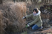 Woman cutting Miscanthus (miscanthus) back in March