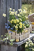 Spank basket with Narcissus 'Minnow' (Daffodil), Primula elatior