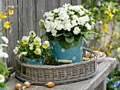 Primula 'Dawn Ansell' and Viola cornuta