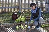 Woman planting young lettuce (Lactuca) plants in the vegetable bed