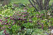 Helleborus orientalis (lenten hellebore) in early spring