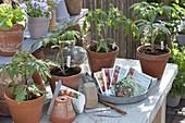 From seed self-grown seedlings of tomatoes